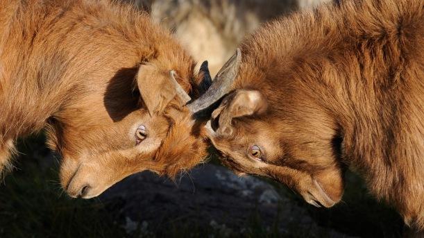 locking-horns